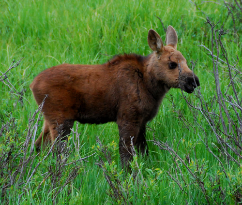 Cute moose calf - photo#25